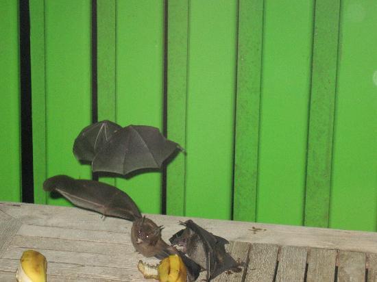 Turtle Beach by Rex Resorts: Fledermäuse beim Bananenschmaus auf unserem Balkon