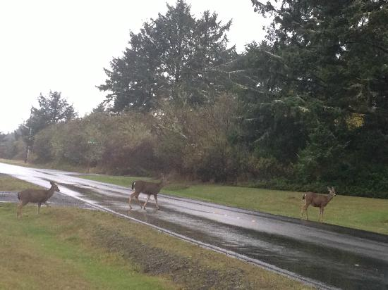 BEST WESTERN Lighthouse Suites Inn: Deer in Ocean Shores