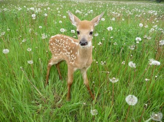 Saskatchewan, Canada: baby deer