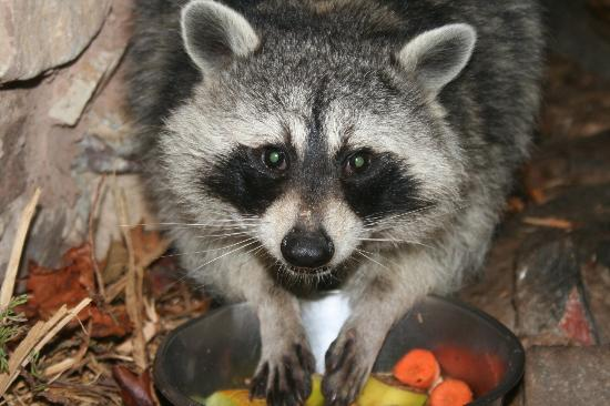 Tropiquaria Zoo: Rocky raccoon