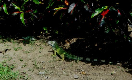 Hilton Colon Guayaquil: Colorful iguana outside the hotel