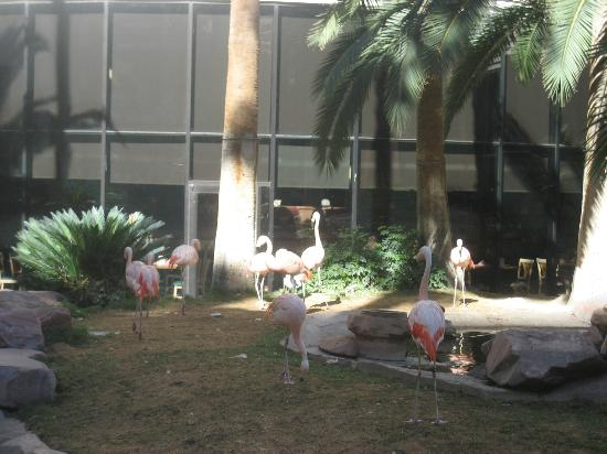 Hilton Grand Vacations at the Flamingo: Live flamingos outside the Flamingo Hotel