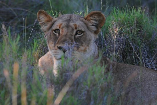 Muweti Bush Lodge: lioness seen on our very first outing!
