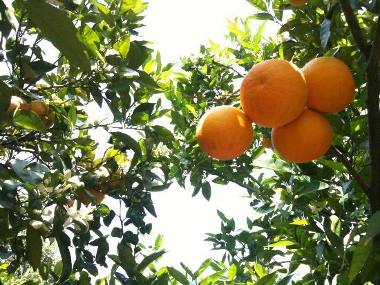 B&B Bella-Sicilia: Garden orange tree