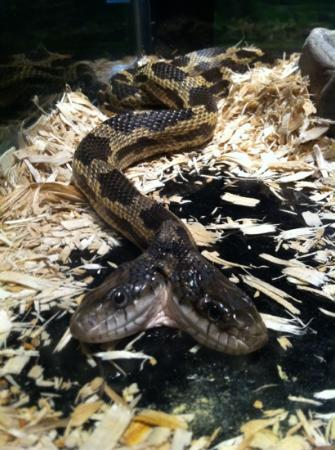 Jackson, MS: two-headed rat snake