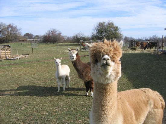 Orchard House Bed and Breakfast: Llamas