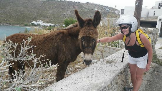 Petinos Beach Hotel: Just up the road I always stopped to feed this hungry donkey.