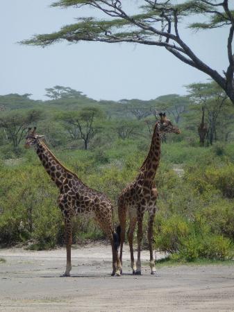 Olakira Mara River Camp, Asilia Africa: giraffe