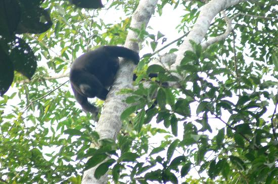 "Hickatee Cottages: Howler Monkey in the Hickatee ""yard"""