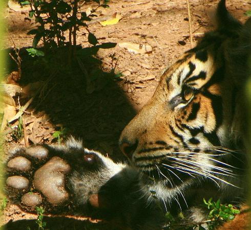 Zoo Atlanta: Licking his paw look how big it was