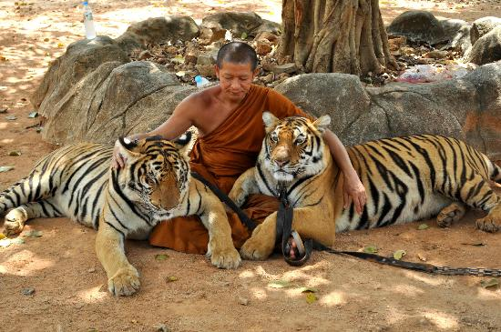 Monks Sitting with tigers - Picture of Tiger Temple ( Wat ...