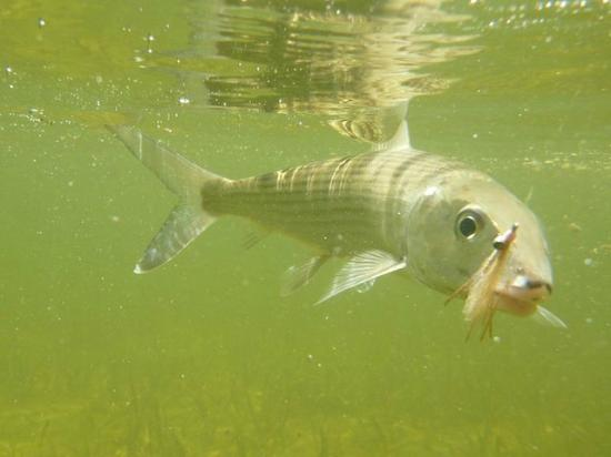 El Pescador Resort : One of our many bonefish