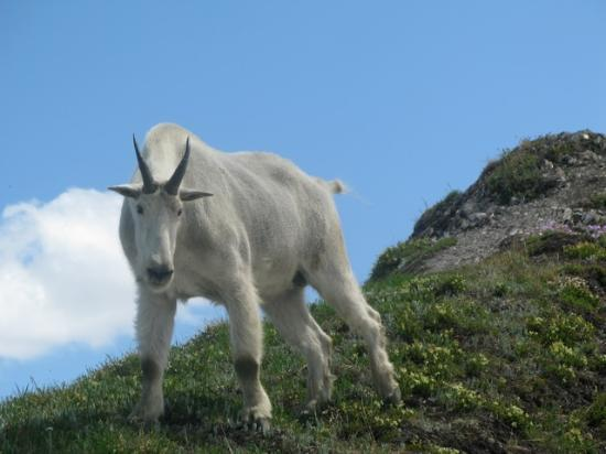 Selkirk Mountain Experience Lodge: Durrand Glacier: Goliath, one of our many resident goats!