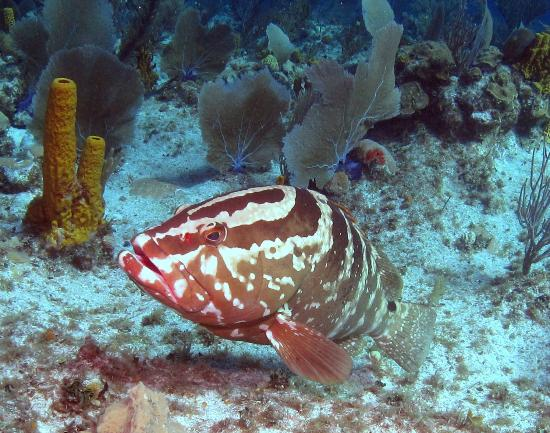 Pirates Point Resort: groupers follow you like puppies