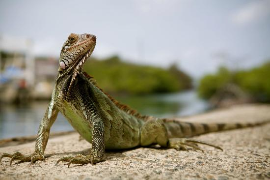 Flamenco Beach Campground: Iguana