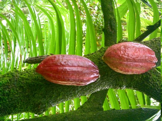Cocoa Cottages: 2 cocoa beans in the garden