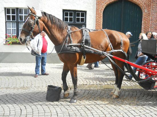 Hotel Ter Brughe: One of the fine looking horses that trot round the streets of Bruges