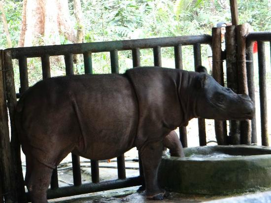 Satwa Elephant Eco Lodge: Sumatran Rhino