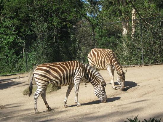 Melbourne Zoo: Zebras (no cages)