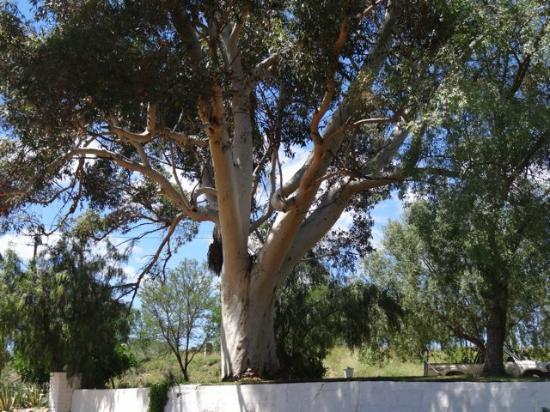 Frischgewaagd Guesthouse: Ein Eukalyptusbaum im Garten