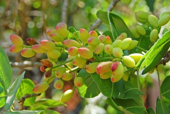 B&B Sotto il Vulcano: Frutto di pistacchio