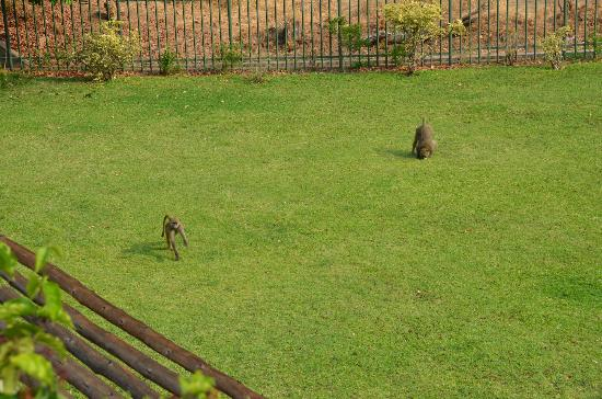 Ilala Lodge: Baboons may join you...