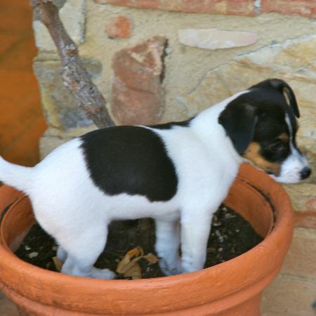 Santa Maria a Poneta: Juck Russel Terrier in the Impruneta pots!!!!