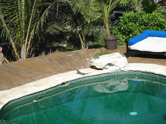 El Pez Colibri Boutique Hotel: Iguana's sunning themselves by the pool