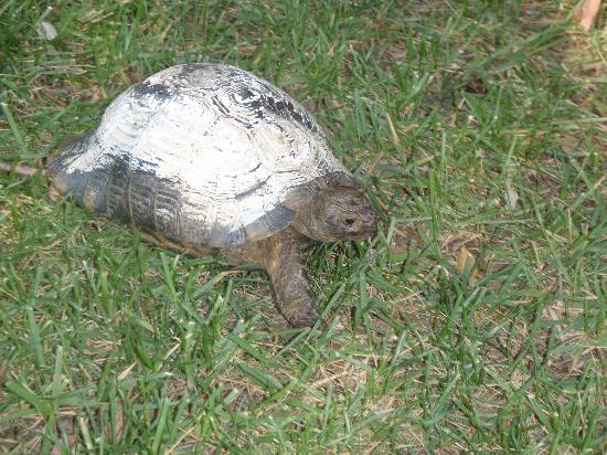 Jacaranda Club & Resort: turtle