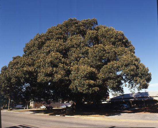 Best Western Travellers Rest Motor Inn: The Famous Burke & Wills Morton Bay Fig Tree - the largest in the Southern Hemisphere!