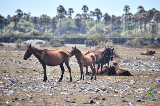 Jaffna, Sri Lanka: Wild horses bred by Dutch for trade are still seen around the northern part of Delft island