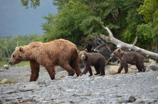 Spirit of Alaska Wilderness Adventures Lodge: 3 bears