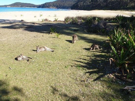 Kangaroos snoozing in the sun at Pebbly Beach, Australia