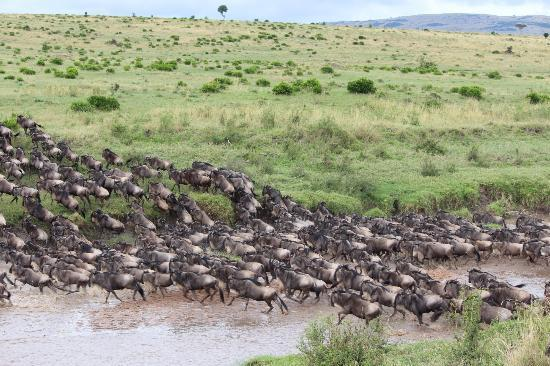 Enkewa Mara Camp: Gnu Crossing