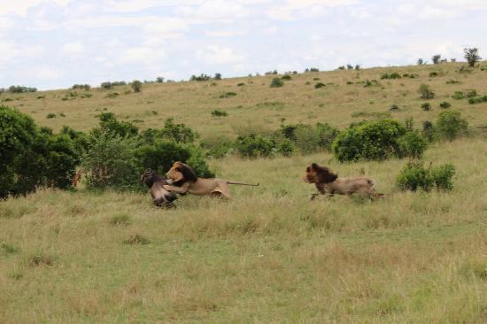Enkewa Mara Camp: Action shot!