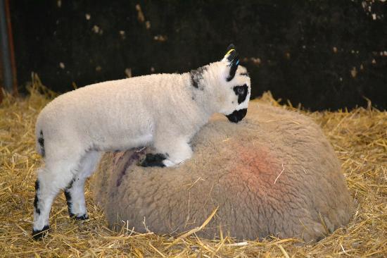 Temple Newsam: Lambing