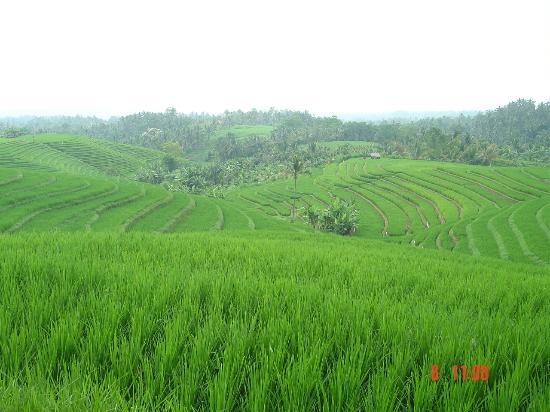 Bali Eco Stay Rice Water Bungalows: The nearby rice fields.