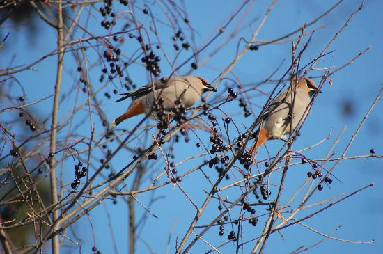 Cottonwood Island Nature Park: Bohemian waxwings