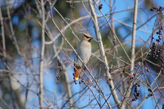 Cottonwood Island Nature Park: b. waxwing
