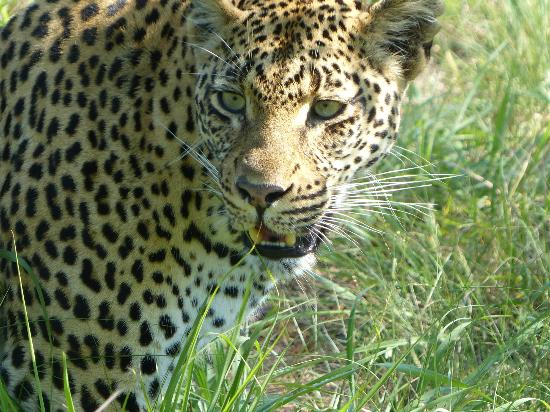 Londolozi Tree Camp: One of the Londolozi Leopards