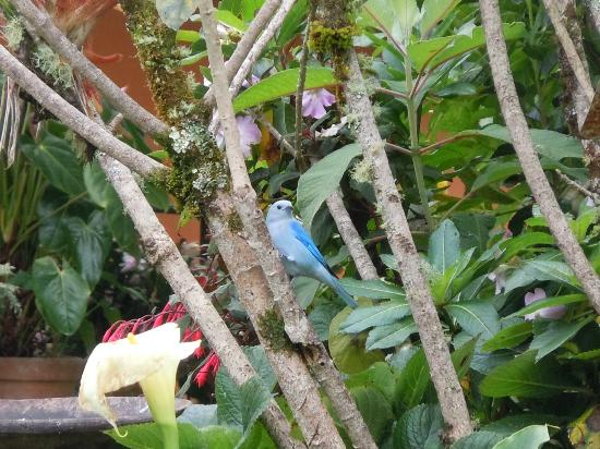 Savegre Hotel, Natural Reserve & Spa: Blue Grey Tanager