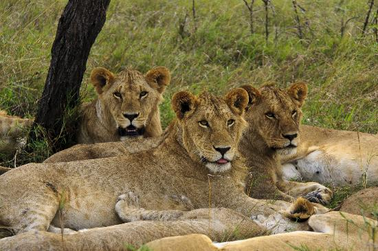 Porini Lion Camp 사진