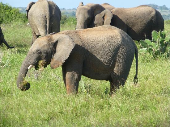 Kariega Game Reserve - All Lodges: baby elephant