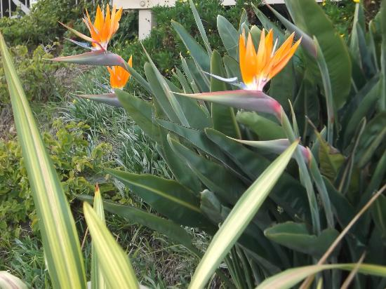 Holiday Inn Express Solana Beach/Del Mar: Birds of Paradise seen on stroll to beach