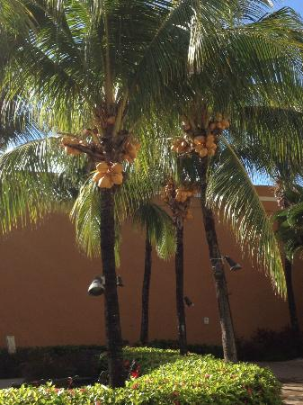 Courtyard Isla Verde Beach Resort: Coconut tress in the pool area