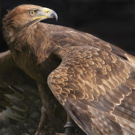 Cullompton, UK: Khan ( Golden Eagle x Russian Steppe Eagle)
