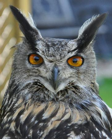 Yaraks Birds Of Prey Falconry Centre: Gomez ( European Eagle Owl)