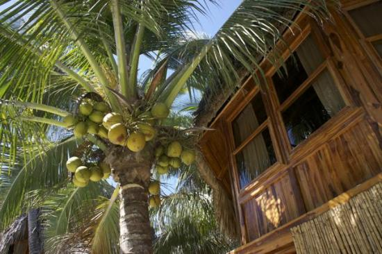 Hotel Tortuga Village: Coconuts outside my window