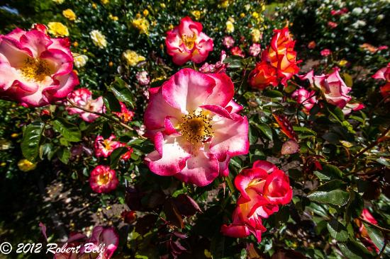 National Rose Garden: Roses and Roses