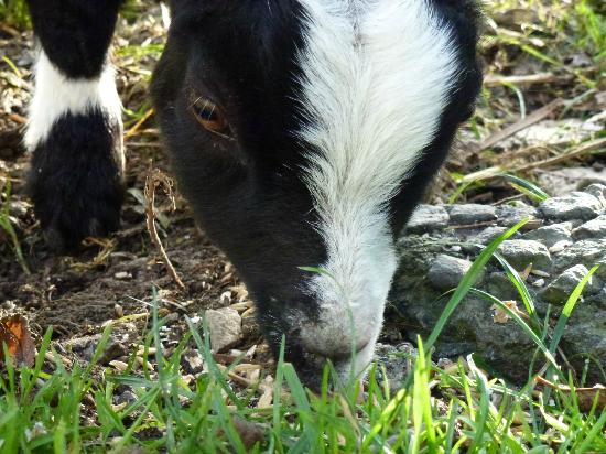Pollaughan Holiday Cottages : Baby goat